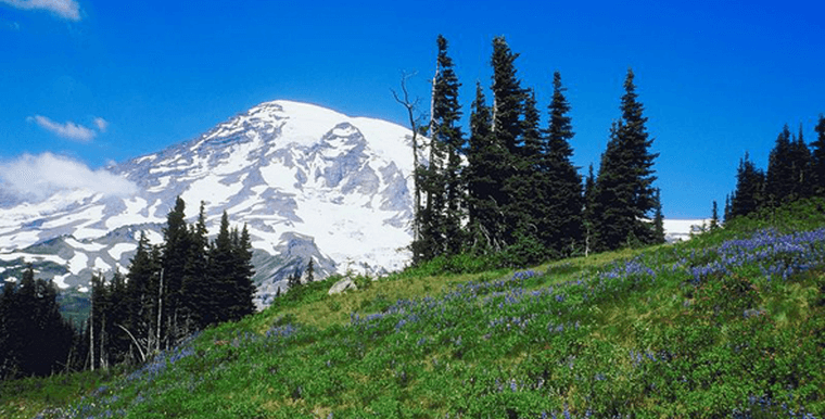 Green hillside with purple flowers, pine trees and mount hood in the background